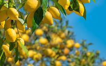 Fresh Yellow Ripe Lemons With ...