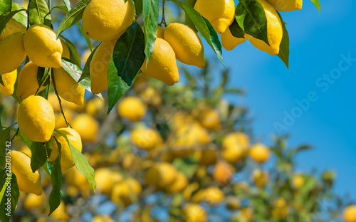 Fotomural  Fresh yellow ripe lemons with green leaves on lemon tree branches  in sunny weather