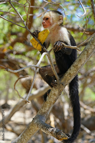 A white-headed capuchin monkey (cebus capucinus) eating fruit on a tree  in Peninsula Papagayo, Guanacaste, Costa Rica