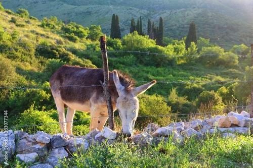 plakat Greek donkey