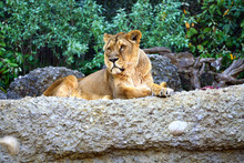 A Lioness Sitting On A Rock