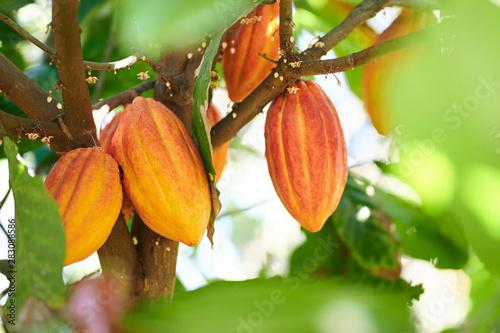 Cuadros en Lienzo Cacao harvesting theme