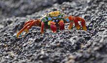 Sally Lightfoot Crab Closeup