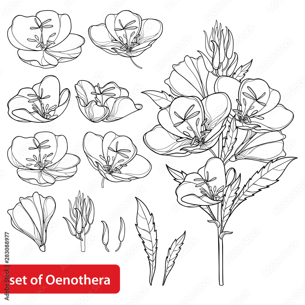 Fototapety, obrazy: Set with outline ornate Oenothera or evening primrose flower bunch with bud and leaf in black isolated on white background.