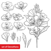 Set With Outline Ornate Oenothera Or Evening Primrose Flower Bunch With Bud And Leaf In Black Isolated On White Background.