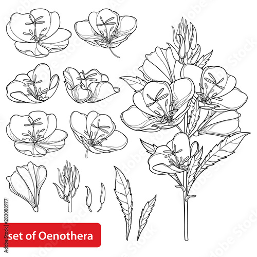 Set with outline ornate Oenothera or evening primrose flower bunch with bud and leaf in black isolated on white background. Wall mural