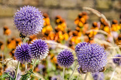 Fotografie, Obraz Five purple globe thistles with bees working on them in a garden with grasses an