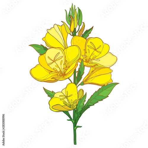 Stem of outline ornate Oenothera or evening primrose flower bunch with bud and leaf in yellow isolated on white background Wallpaper Mural