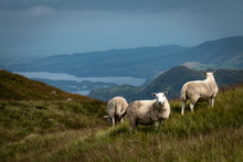 Sheep Grazing In Lake District National Park, England