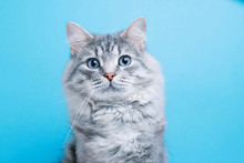 Funny Smiling Gray Tabby Cute Kitten With Blue Eyes. Portrait Of Lovely Fluffy Cat.