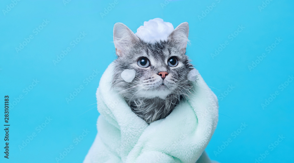 Fototapety, obrazy: Funny wet gray tabby cute kitten after bath wrapped in green towel with big eyes. Just washed lovely fluffy cat with soap foam on his head on blue background.