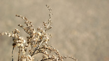 Brown Dried Plant Weed With Fa...