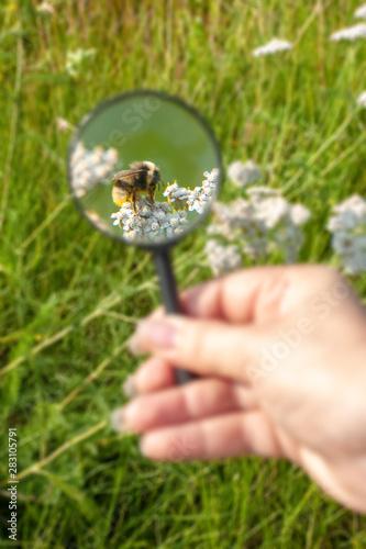 Carta da parati Bumblebee under a magnifying glass in a field on a flower