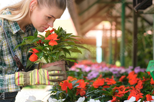 Fototapeta people, gardening and profession concept - happy woman or gardener taking care of flowers in greenhouse obraz