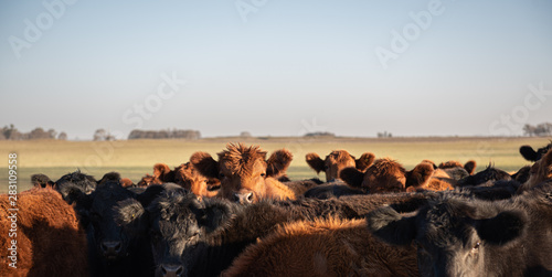 Photo Herd of young cows