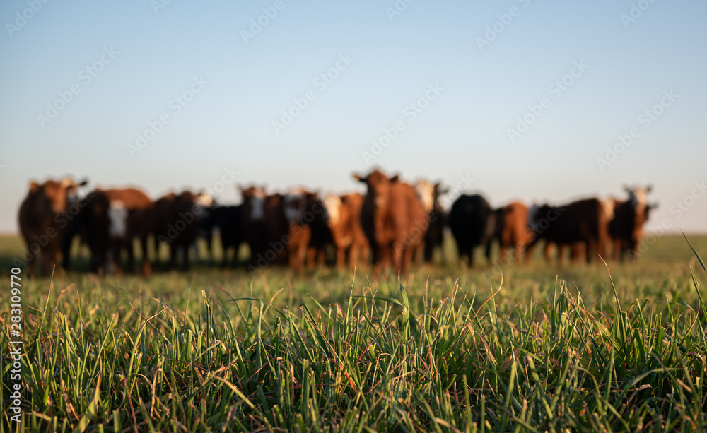 Fototapety, obrazy: Herd of young cows