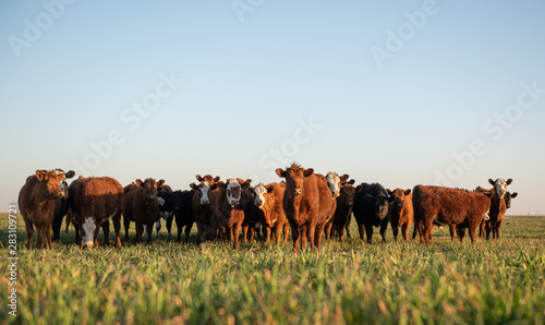 Acrylic Prints Cow Herd of young cows