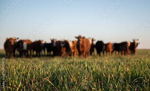 Herd of young cows Canvas Print
