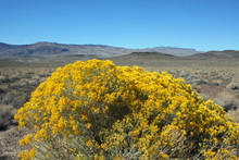 Yelloow Bush In The Desert - D...