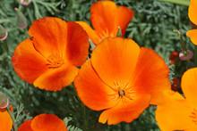 California Poppy In Orange