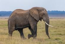 Big Elephant Walking In The Sa...