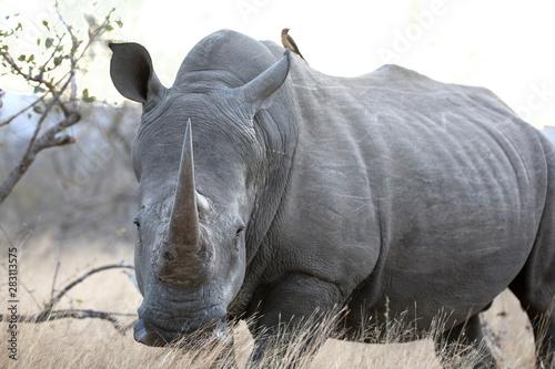 Poster Rhino Portrait of white rhinoceros in yellow grass