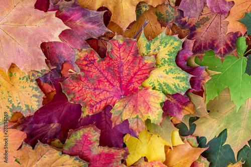 Obraz na plátně  viele farbige Blätter (Ahorn) als Hintergrund