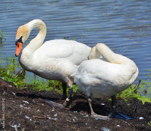 Photo White swans are birds of the family Anatidae within the genus Cygnus