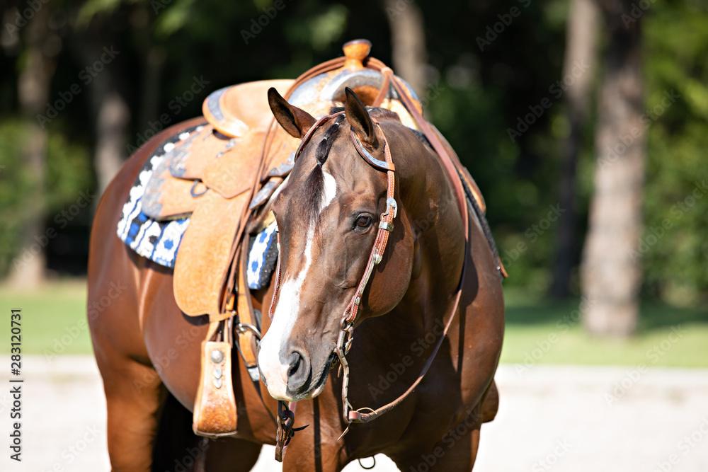 Fototapety, obrazy: Bay Western Horse