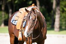 Bay Western Horse