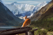 Red Cat On A Background Of Belukha Mountain
