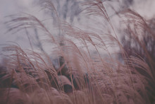 Close Up View Of Fine Grey Grass Swaying In Breeze