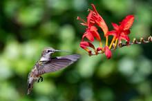 Ruby Throated Hummingbird Hove...