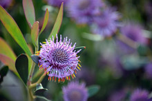 Australian Native Purple Coneflowers Of Isopogon Cuneatus, Family Proteaceae. Endemic To Heathland And Woodland Near Albany In Western Australia.