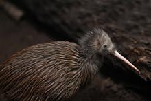 North Island Brown Kiwi, Apter...