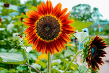 Beautiful Warm Picture Of Red Sunflowers In The Garden