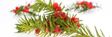 Yew Twig With Fruits. Taxus Baccata. Panoramic Image