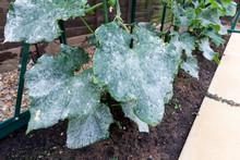 Powdery Mildew On Cucumber Pla...