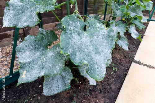 Powdery Mildew on cucumber plant leaves Canvas-taulu