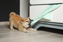 Adorable Akita Inu Puppy Stealing Clothes From Commode At Home