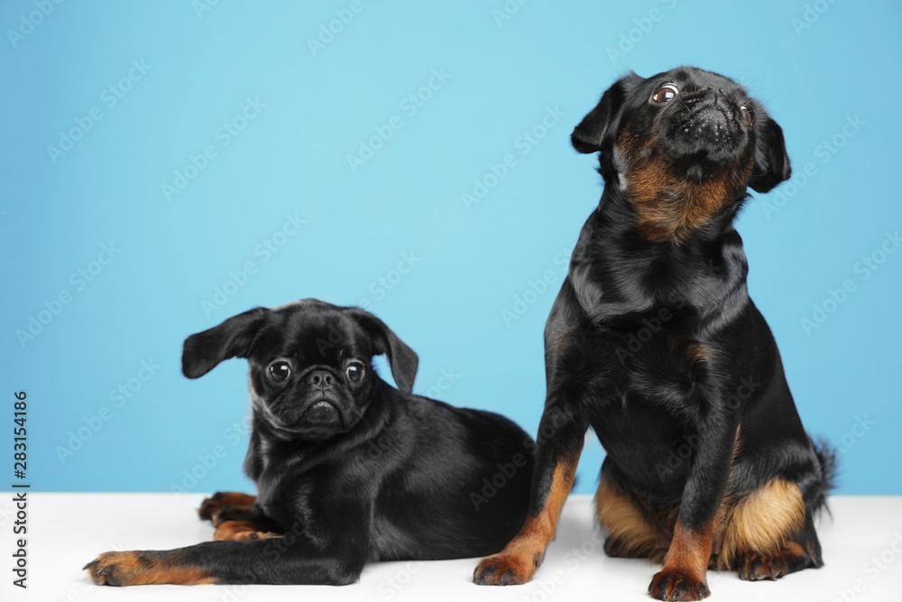 Fototapety, obrazy: Adorable black Petit Brabancon dogs on white table against light blue background