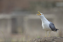 An Adult Yellow-legged Gull (L...