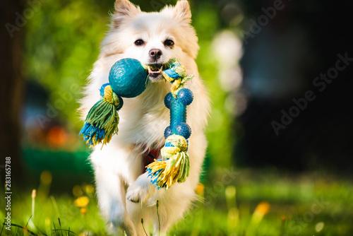Obraz Beautiful white dog - pomeranian german spitz klein fetching a toy running towards camera - fototapety do salonu