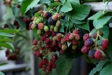 Multi-colored Ripening Blackberries On A Bush