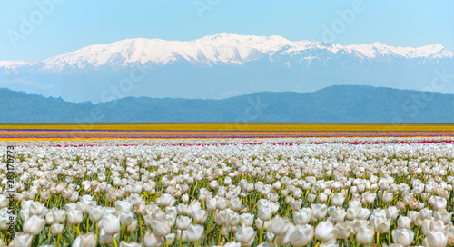 White tulip field with snowy mountains