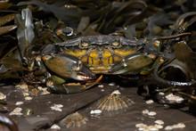 European Green Crab (Carcinus ...