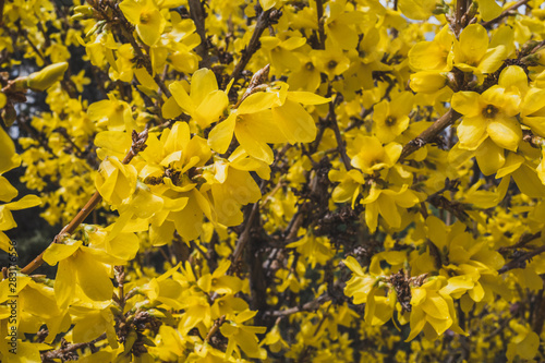 Background texture of yellow flowers