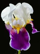 Bearded Iris Flower Isolated On Black. Close-up Photo