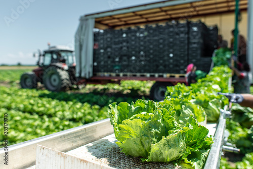 Fototapeta Tractor with production line for harvest lettuce automatically. Lettuce iceberg picking machine on the field in farm. obraz