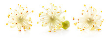 Linden Flowers Isolated On Whi...